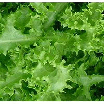 "Fresh Endive -""Green Curled Ruffec' 50 Seeds : Industrial & Scientific"