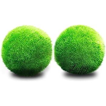Luffy 2 Marimo Moss Balls - Aesthetically Beautiful & Create Healthy Environment - Eco-Friendly, Low Maintenance & Curbs Algae Growth - Shrimps & Snails ...