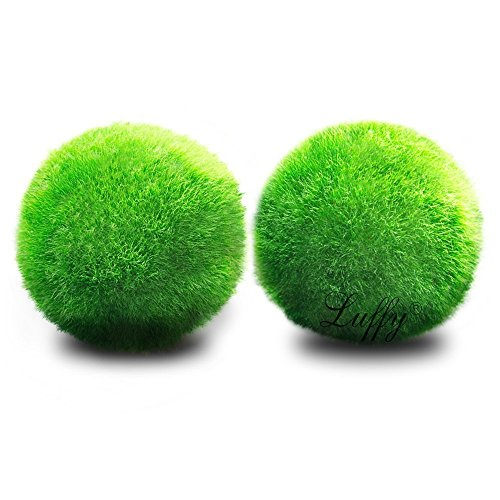 Luffy 2 Marimo Moss Balls - Aesthetically Beautiful & Create Healthy Environment - Eco-Friendly, Low Maintenance & Curbs Algae Growth - Shrimps & Snails Love Them