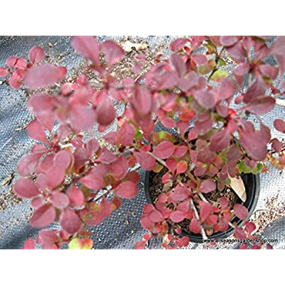 from Grandiosy Farm: Rosy Glow Barberry, Glossy red Leaves, Good Fall Color, Five Plants, Ready to Ship : Garden & Outdoor