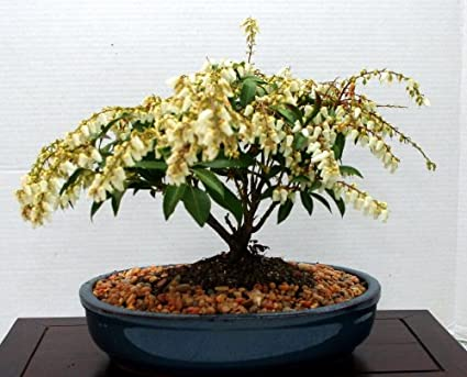 LOU'S BONSAI NURSERY ANDROMEDA WHITE FLOWERING BONSAI TREE