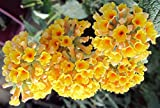 Diamond Yellow Buddleia Butterfly Plant Honeycomb Potted Plant