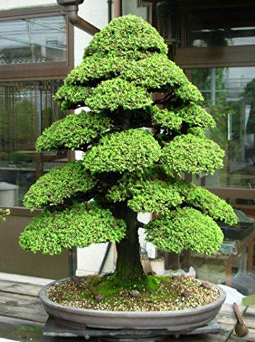 Hot Sale! Sacred Japanese Cedar - 50 Pcs Semillas Bonsai Seeds