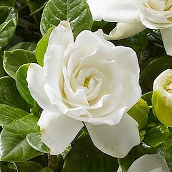 Amazon くちなし クチナシ 4 5号鉢 薫る バラ咲き 鉢