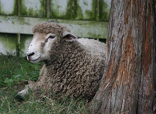 (Home Comforts Peel-n-Stick Poster of Livestock Farming Sheep Mammal Wool Lamb Domestic Vivid Imagery Poster 24 x 16 Adhesive Sticker Poster Print)