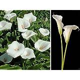 25 Calla Lily Seeds - Zantedeschia aethiopica - Native to South Africa - white