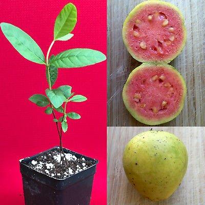 Yellow Pink Variegated Guava Psidium guajava Tree Potted Seedling Plant ()