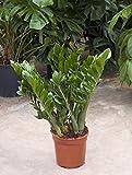 Glücksfeder, Zamioculcas zamiifolia, ca. 100 cm, große Zimmerpflanze, 24 cm Topf