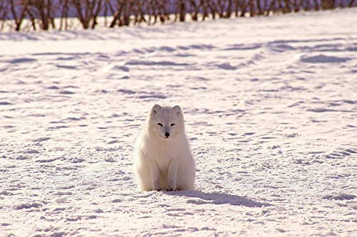 Canvas Arctic Print - EGOTOU Polar Fox Arctic Fox Snow - Art Print on Canvas Posters 13x20 inch