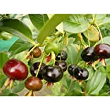 Grumichama Brazilian Cherry Tropical Fruit Trees 30-36 Inch Height in 3 Gallon Pot #BS1