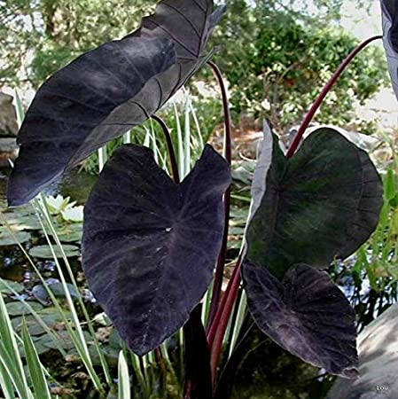 Amazon Com 1 Starter Plant Of Colocasia Black Magic Elephant Ear