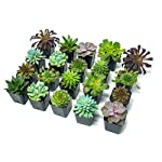 Succulent Plants (20 Pack) Fully Rooted in Planter Pots with Soil | Real Live Potted Succulents / Unique Indoor Cactus Decor by Plants for Pets 12 HAND SELECTED: Every pack of succulents we send is hand-picked. You will receive a unique collection of species that are fully rooted and similar to the product photos. Note that we rotate our nursery stock often, so the exact species we send changes every week. THE EASIEST HOUSE PLANTS: More appealing than artificial plastic or fake faux plants, and care is a cinch. If you think you can't keep houseplants alive, you're wrong; our succulents don't require fertilizer and can be planted in a decorative pot of your choice within seconds. DIY HOME DECOR: The possibilities are only limited by your imagination; display them in a plant holder, a wall mount, a geometric glass vase, or even in a live wreath. Because of their amazingly low care requirements, they can even make the perfect desk centerpiece for your office.