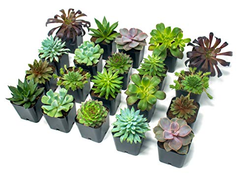 Baby Shower Thank You Gifts (Succulent Plants (20 Pack) Fully Rooted in Planter Pots with Soil | Real Live Potted Succulents / Unique Indoor Cactus Decor by Plants for)