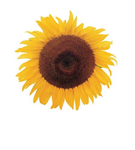 (Burpee Kong Hybrid Sunflower Seeds 25 seeds )