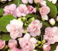 Double Pink Impatiens 15 Seeds - Annual