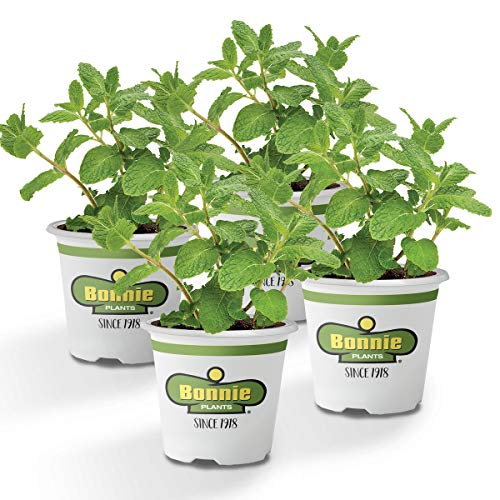 Bonnie Plants Sweet Mint Live Edible Aromatic Herb Plant - 4 Pack, Easy To Grow, Non-GMO, Perennial In Zones 5 to 11, Used In Teas & Other Beverages, Salads, Garnish, Jelly & Desserts