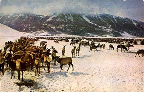 National Elk Refuge Jackson, Wyoming Original Vintage Postcard - National Elk Refuge