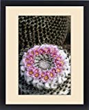 Framed Print of Flowering pincushion cactus. Mammillaria bachmanii. Garden in Tucson, Arizona