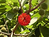 Broussonetia papyrifera PAPER MULBERRY Tree Seeds