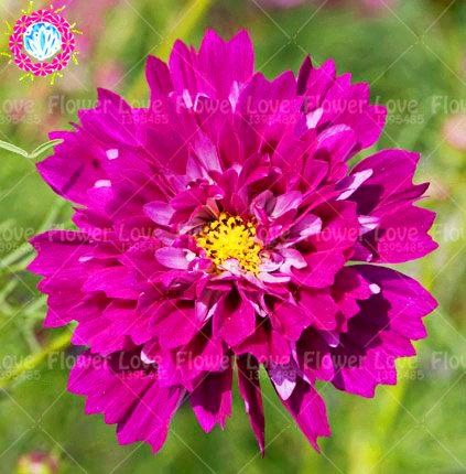 Amazon 100pcs Rare Double Cosmos Flower Seeds Perennial Potted
