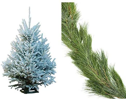 Hallmark Real Christmas Tree Black Hills Spruce Sno Tip 3 Foot To 4 Foot Stand Included And 25 White Pine Garland