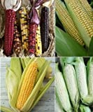 nongmo corn flower - David's Garden Seeds Corn Seed Collection SL651 (Multi) 4 Varieties 300 Seeds (Open Pollinated, Heirloom, Organic)