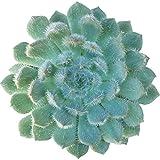 Echeveria setosa var. deminuta (4 inch)