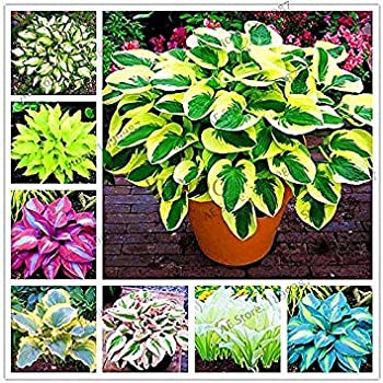 Amazoncom 150pcsbag Beautiful Hosta Plants Perennials Lily