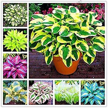 150pcs/bag beautiful Hosta Plants Perennials Lily Flower Shade Hosta Flower Grass Seeds Ornamental Plants Home Garden