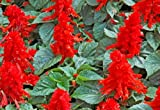 Salvia Seeds- St John's Fire- Scarlet Red Color- 100+ 2019 Seeds