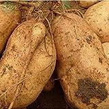 Brand New! Vegetable seeds Sweet potatoes Sweet Potato, Batata Mameya by Prorganics Farm garden 20pcs seeds of hope