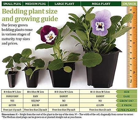 70 Ready JPD Plants Viola Valentino