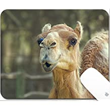Luxlady Gaming Mousepad 9.25in X 7.25in IMAGE: 34420265 Camel smiling look alike at zoo