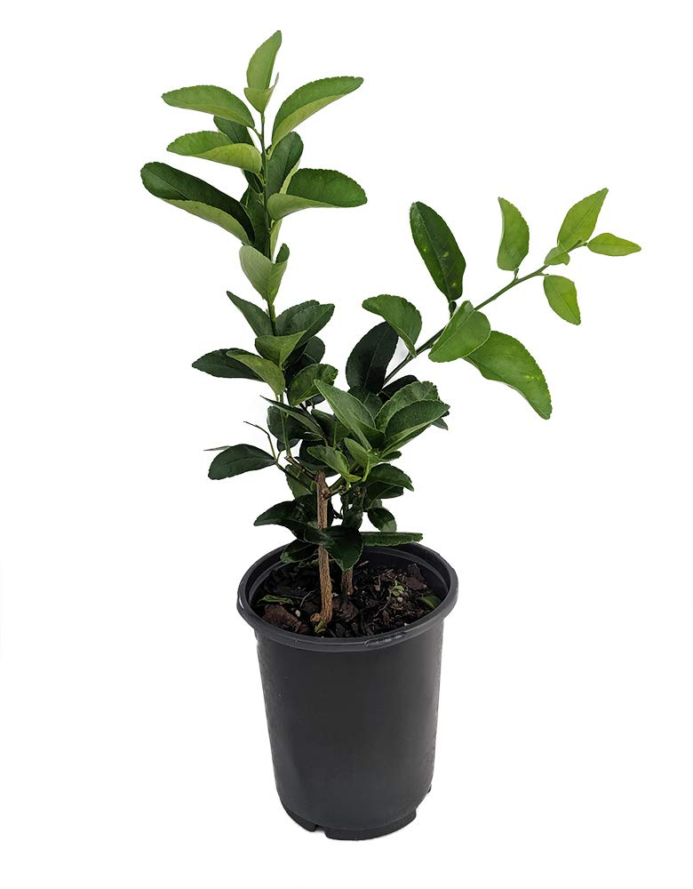 1 Everbearing Persian Lime Tree - 6'' Pot by Peppermint