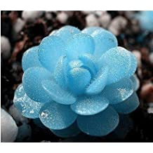 Mini succulents seed Tetragonia blue stone flower seeds Lithops Pseudotruncatella seed