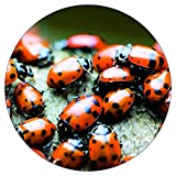 Bazos 9000 Live Ladybugs - Good Bugs - Ladybugs