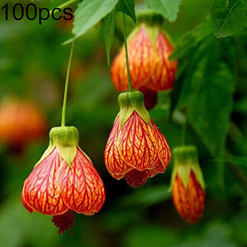 100Pcs Abutilon Pictum Flower Seeds Bonsai Plant Home Garden Yard Balcony Decor – AbutilonPictum Seeds