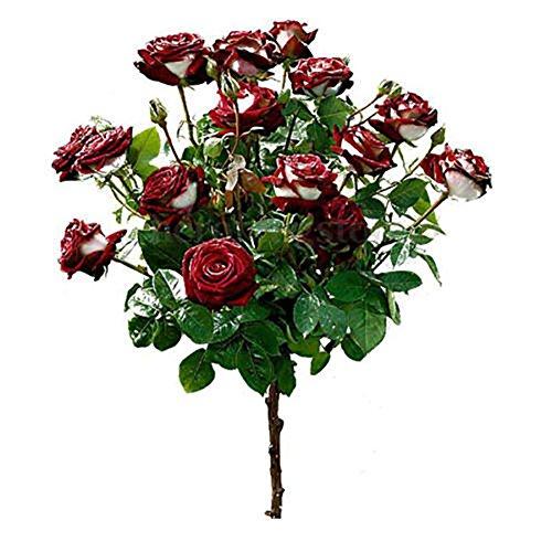 GMNP0di% Osiria Rose Seeds for Planting Red & White Osiria Ruby Rose Flower Seeds Home Garden Pots Decor Plant 1#
