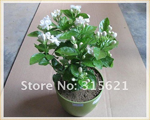 Amazon Jasmine Plant 25 Seeds Indooroutdoor Herbal Plant With