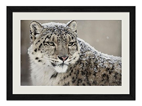 R.Maltto Snow leopard(A023) - Art Print Wall Hang Black Wood Frame Poster Framed Picture Home Decor(16x12inch)