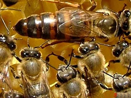 Amazon.com: 2018 Italian Queen Bee. Naturally raised. Highest ... on chemo party ideas, doomsday party ideas, ultraman party ideas, crystal party ideas, key party ideas, mother party ideas, sugar plum fairy party ideas, snake party ideas, daisy party ideas, cupid party ideas, honey bee party ideas, rose party ideas, queen bee tattoo ideas, church party ideas, queen bee party rentals, thanksgiving party ideas, brain party ideas, girly girl party ideas, beautiful party ideas, dancing party ideas,