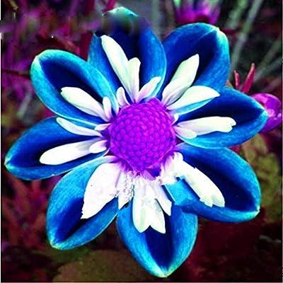 100Pcs Rare Blue and White Point Dahlia Seeds Beautiful Perennial Flowers Plants Dahlia for DIY Home Garden Sementes Dahlia Plant Seeds (4) : Garden & Outdoor