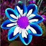 100Pcs Rare Blue and White Point Dahlia Seeds Beautiful Perennial Flowers Plants Dahlia for DIY Home Garden Sementes Bonsai S