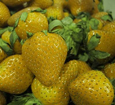 Yellow Wonder Alpine Strawberry - 8 Plants - Fragaria - Everbearing