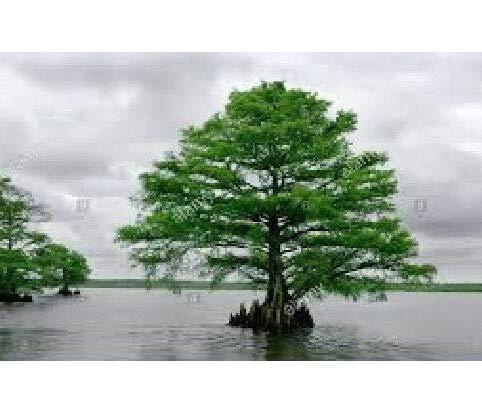 Fresh Tree Cuttings Bald Cypress Get 10#ADN01YN