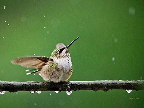 Bird Picture, Hummingbird In The Rain, Nature Print, Fine Art Photography, Cute Animal Wall Art Decor by Christina Rollo