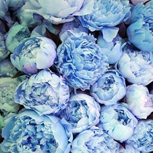 (Iekofo 20pcs Peony Seeds Peony Flower Seeds Garden Flower Bonsai Ornamental Flower Seeds Yard Office Decoration)