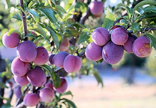2 Dwarf Santa ROSA Plum Trees 18-24 INCH Flowering Fruit Trees Live Plants ()