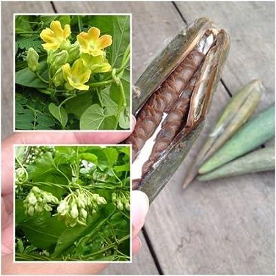 Telosma cordata 50 Seeds Cowslip Creeper Chinese Violet Vine Seeds Rare Thailand : Garden & Outdoor