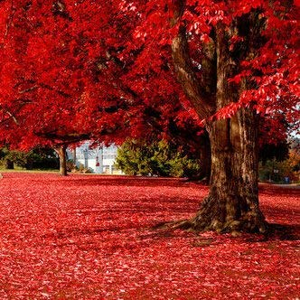 Best Selling!!! 50 particles Beautiful Japanese Red Maple Seeds, DIY home & garden tree seed
